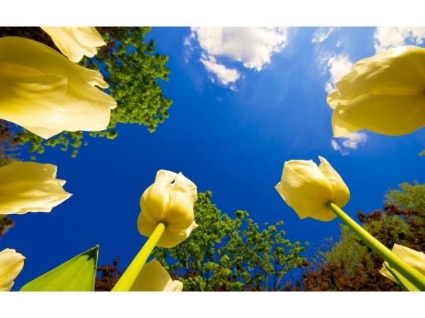 Интересный ракурс тюльпанов на фоне ясного синего неба