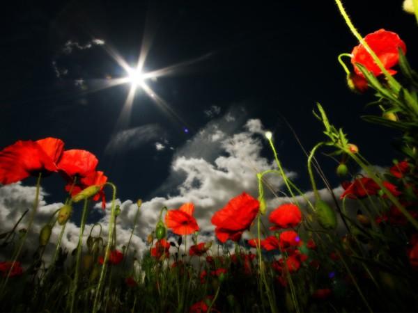 Маки на фоне ночного неба