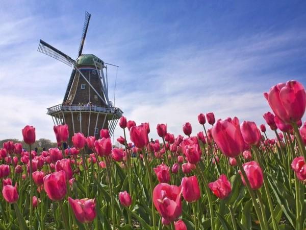 Тюльпаны и мельница – два основных символа Голландии