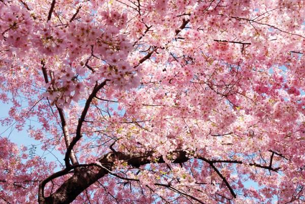 Цветущее весенние дерево