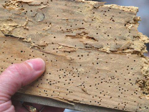 Следы жука-короеда